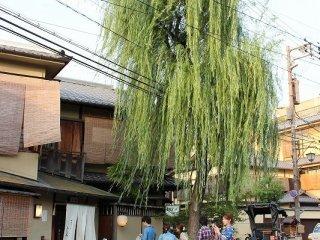この柳のたもとの道が新橋通。祇園町北側の北限である