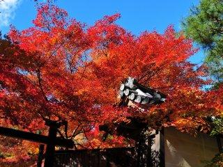 塀の上から紅葉が零れ落ちて来たようだ