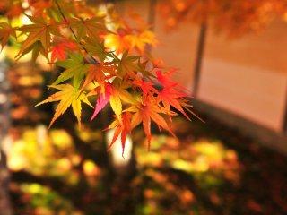 1枚の楓の葉が2色に見える葉がある