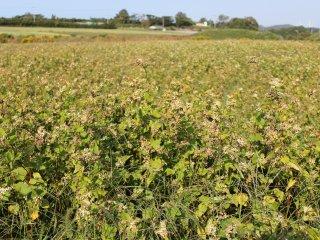 花が終わり受粉が順調に進んだ蕎麦畑