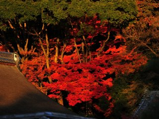 Pada sore hari, daun-daun maple berwarna merah gelap terlihat muncul dari permukaan gunung diatas Rumah Teh 'Fushiki-an'