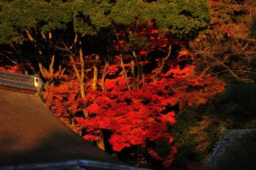 <p>In the afternoon, the deep-red maple leaves seem to emerge from the mountain surface above the &#39;Fushiki-an&#39; Tea House</p>