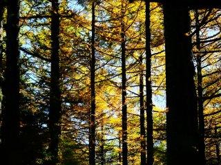 針葉樹のブラインド、朝陽が眩しい