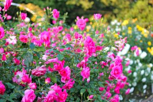 The classic beauty and fragrant smell of these roses are just heavenly