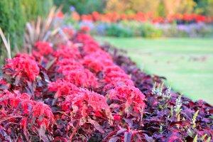 Nikmatilah berbagai tanaman teh warna-warni di sepanjang area terbuka berumput