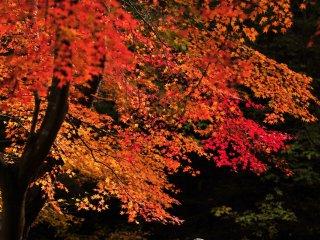 Gradasi warna merah dan merah tua yang sungguh cantik