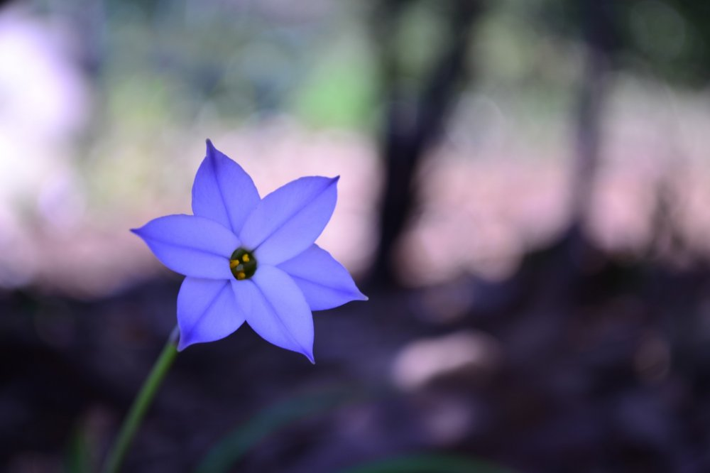 A small spring star flower
