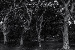 Des arbres blancs d'une beauté mystérieuse
