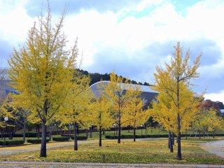 Деревья гинкго выстраиваются вдоль прогулочной дорожки в парке