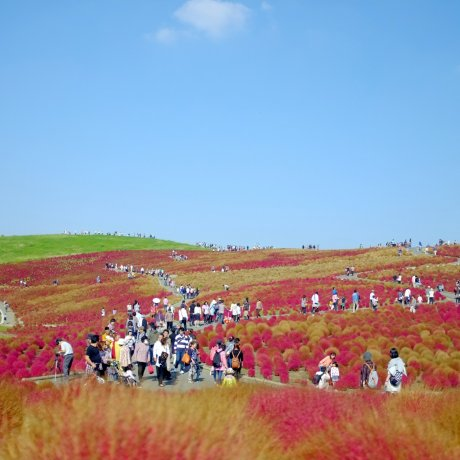 Hitachi Seaside Park di Musim Gugur