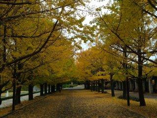 Túnel de árvores ginkgo