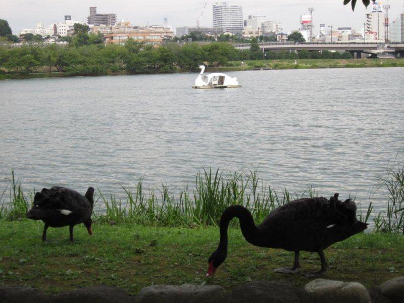 Черные лебеди на озере Сэмба