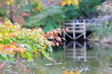 <p>A wooden foot bridge just beyond the maple trees</p>
