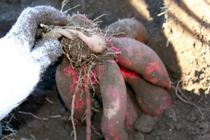 Sweet Potato picking