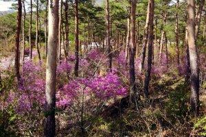 Цветение повсюду! Это весна пришла в Яманаси...