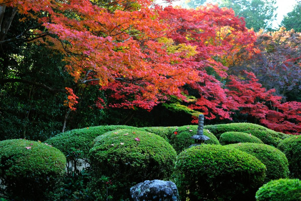 The landmark view of Shisendo! Appreciate the beautiful contrast of red maple leaves and green leaves of azaleas