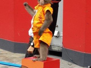 Sang pawang dan monyet menunggu tepuk tangan para penonton.
