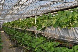 Dengan teknologi hidroponik stroberi dipersiapkan untuk panen di musim dingin.