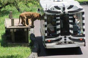 Bus in the Lion Garden