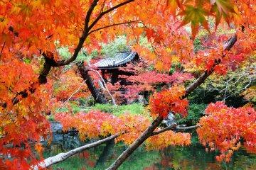 <p>호조 연못 주변에서 아름다운 단풍 너머로 보이는 조그만 절</p>