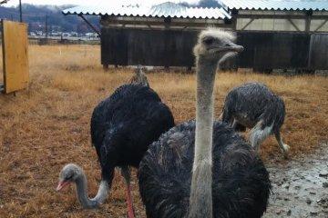 Ostriches of Asahi Town, Yamagata