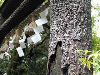 수지 가공 되고 있지만, 수피가 붙은 채로 둔 상수리나무의 원목(토쿠시마현 츠루기야마)을 사용한, 일본 최고의 토리이