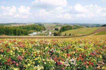 ทุ่งดอกไม้สุดสวยของฮอกไกโด