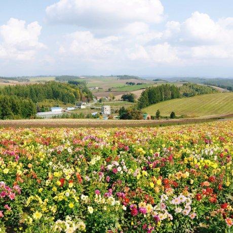 Padang Bunga Menakjubkan Hokkaido