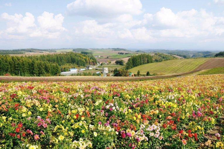 Hokkaido's Amazing Flower Fields
