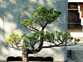 Pinus bonsai di depan tangga kuil