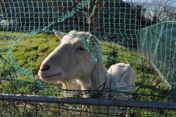 <p>农业镇内有善的山羊</p>