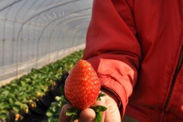 <p>新鲜采摘的草莓</p>