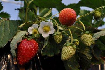<p>又红又大的草莓</p>