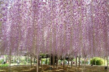 <p>足利花卉公园内的紫藤在毎年4和5月间开花、是一年一度的盛事</p>