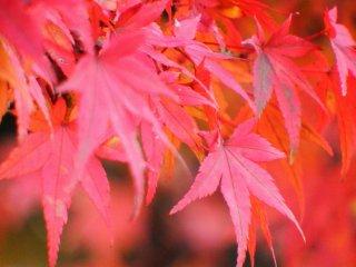 Folhas de bordo vermelhas na área do santuário