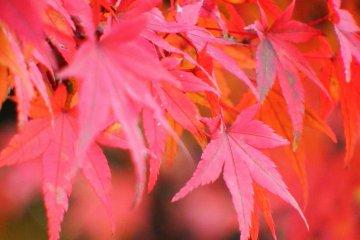 신사에 있는 붉은 단풍잎들