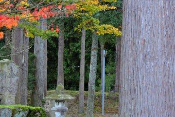 높은 삼나무 한가운데 서 있는 석등