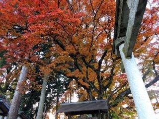 Gigante árvore de bordo laranja elevando-se sobre o torii de pedra do Santuário Ajimano