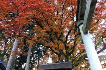 아지마노 신사 돌문 위를 우뚝 솟은 거대한 오렌지색 단풍나무