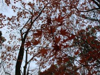 盛りにはさぞかし鮮やかであったであろう紅葉の赤は褪せて風に震える