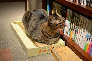 One of the cats surveying the extensive library of manga