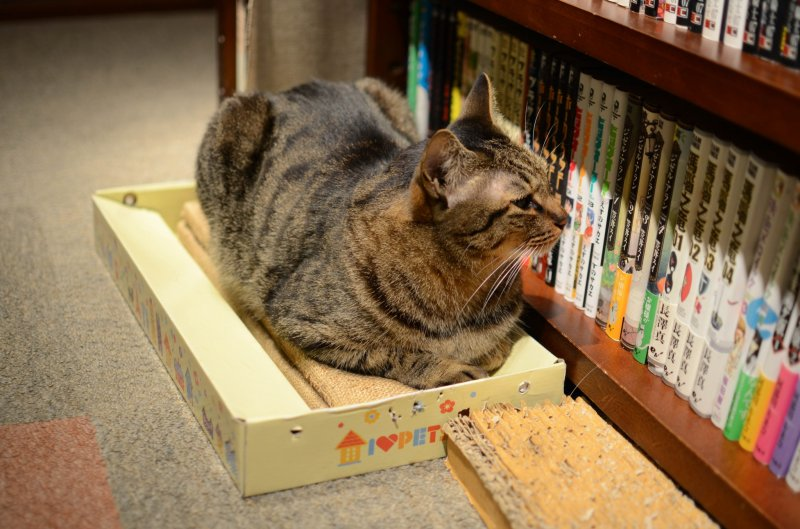 <p>One of the cats surveying the extensive library of manga</p>