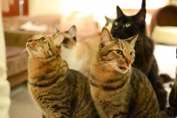 <p>More cats waiting patiently for their food</p>