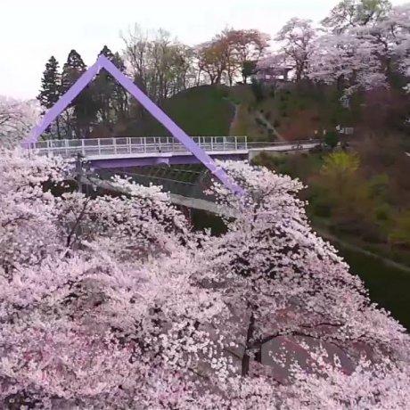 春爛漫、西山公園の満開桜