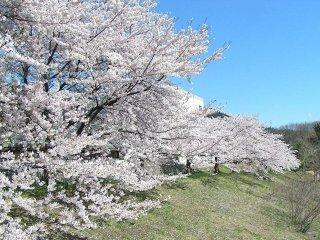 春には千本の桜が一斉に咲き乱れる白石川の堤防
