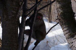 Wild monkeys can be seen all around Nikko