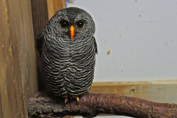 <p>Black Banded Owl</p>