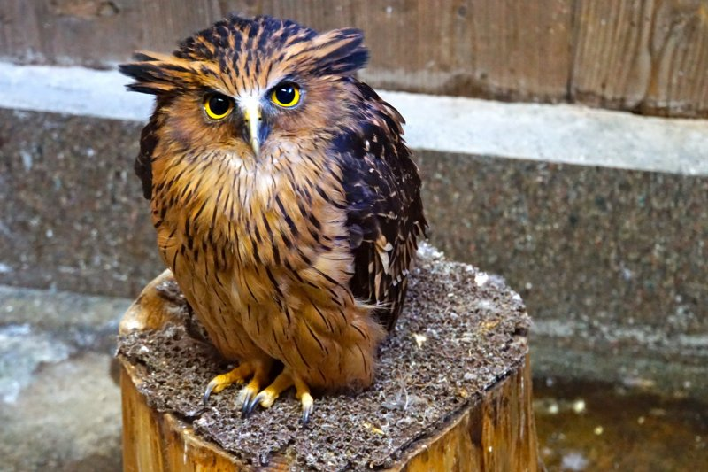 <p>The rich-brown Malay Fish Owl is a medium to fairly large owl with prominent, outward-facing ear-tufts.</p>