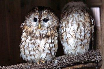 <p>Owls have large forward-facing eyes</p>