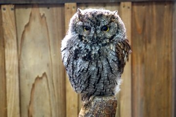 <p>Owls have feathers adapted for silent flight</p>